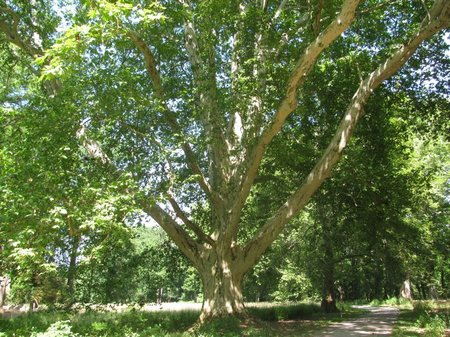 maple leafed plane
